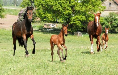Horses with foals